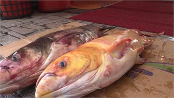 地震魚現身石門水庫?30年首次捕獲黃金大頭鰱