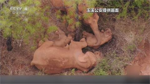 集體躺平睡姿好療育!流浪象群被盯著看 母象捲樹枝幫小象驅趕蚊蟲