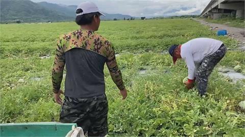 與颱風賽跑搶時間 農民搶收大作戰減少損失