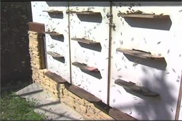 免費蜂蜜的代價 澳洲蜜蜂入侵民宅築巢