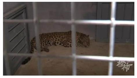 「3金錢豹」都市趴趴走?他認錯:從動物園逃脫仍1隻未捕獲