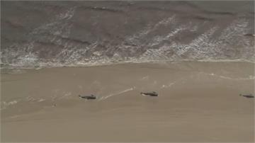 澳洲史上最慘!近500頭鯨魚擱淺 380頭已身亡