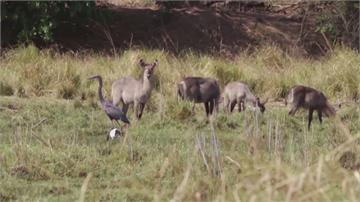 滅絕時代將來臨? WWF:50年來全球野生動物數量驟減2/3