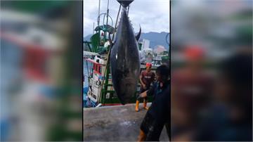 破台東紀錄!成功漁港捕獲395公斤超大黑鮪魚