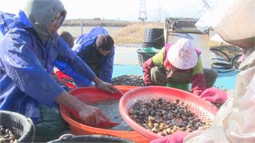 寒流摧殘文蛤恐縮水 小雞取暖有法寶