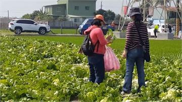 包心白菜任你採!1顆10元體驗「一日農民」田園收割樂