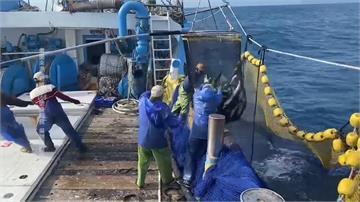 老天爺灑年終獎金 寒流到漁民捕獲15萬尾烏魚