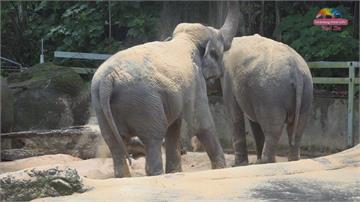 大象玩木屑! 清潔防蚊像軟床墊 還會偷渡回房