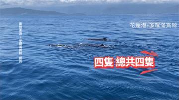 「鯨」喜!抹香鯨現蹤花蓮外海上演「搶親大戲」