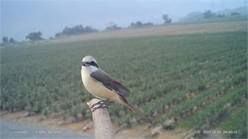 屏科大搭建猛禽棲架 田間24小時記錄生態還可幫忙減少農田鼠患