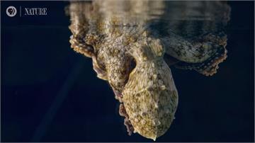 章魚睡夢中也會變色!專家:應是夢到在吃螃蟹