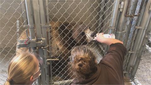 人類染疫恐傳給動物!奧克蘭動物園為黑熊、老虎施打疫苗