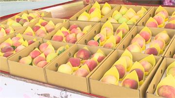 6-8月蜜桃成熟時 拉拉山水蜜桃最佳賞味期