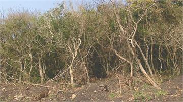 地主未申報就開路 花蓮嶺頂遺址遭破壞 珍貴林木也遭殃!花蓮文化局急搶救