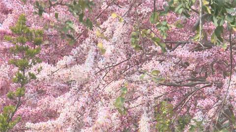 嘉縣竹崎鄉公園花旗木盛開 遊客湧入拍照一睹嬌媚