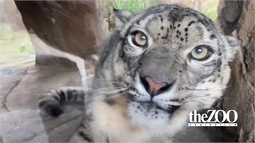 美國肯塔基州動物園 3隻雪豹武漢肺炎確診
