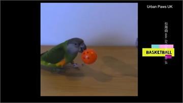 英國網紅鸚鵡超人氣!打保齡球、投籃都難不倒牠