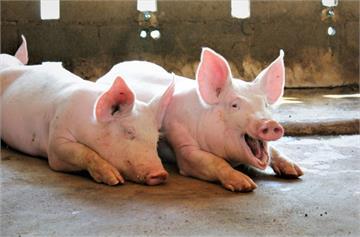 印尼爆發非洲豬瘟!今日14時起帶豬肉品入境將開罰