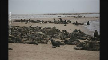 生態悲歌!7千海狗寶寶早產夭折海狗媽媽傷心悲鳴
