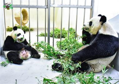 圓寶能吃竹葉竹桿了 與媽媽吃飯姿勢萌翻