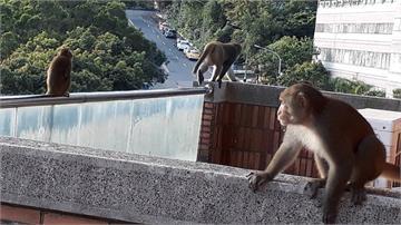 猴王侵門踏戶!屋主為救愛貓竟遭包圍
