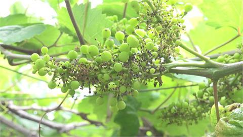 葡萄遇乾旱長不大 病菌傳播嚴重損失近三成