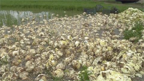 3噸高麗菜倒到田裡當堆肥... 無關豪雨水傷!