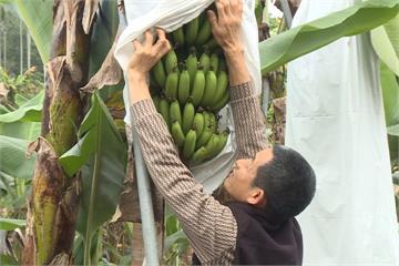 「自己的香蕉自己摘」 埔里首推認養香蕉樹