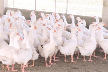 高雄旗山鴨場檢出台灣首例H5N5禽流感 初步認定病毒未擴散