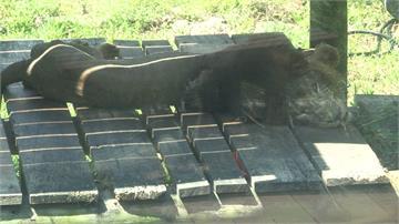 壽山動物園雄獅「瘦成紙片」爆熱議  園方說話了:很正常啊!