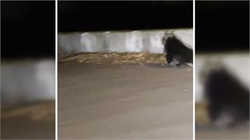 跛腳小黑熊現身谷關街頭 林務局獲報派員搜救