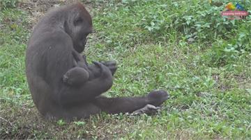 金剛猩猩寶寶滿月 園方公布命名「呷百二」