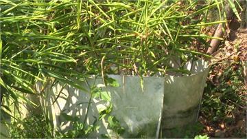 「袋植生薑」免覓地 採收容易產量增4倍