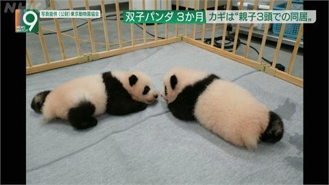 日本貓熊龍鳳胎將滿三個月大 萌樣擄獲人心