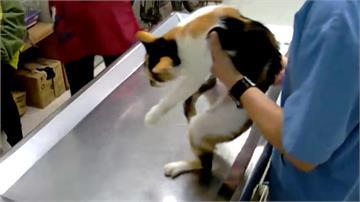 虐貓婦人又再找目標!機警獸醫攔阻認養