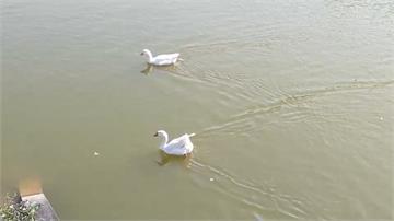 中正大學爆禽流感緊急撲殺 仍有8隻「漏網之鵝」