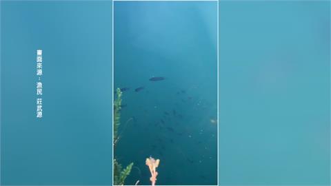 大口吸氣!「台灣鯛」成群浮日月潭水面 漁民嘖嘖稱奇