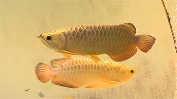 花9年時間站上世界第一!皮膚科醫師成功繁殖活化石「金龍魚」