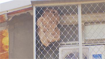 超大虎頭蜂巢就在窗外!兩顆籃球大速速安排拆除