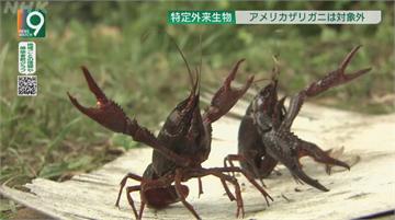 日本小龍蝦危及生態 11月起禁止販售