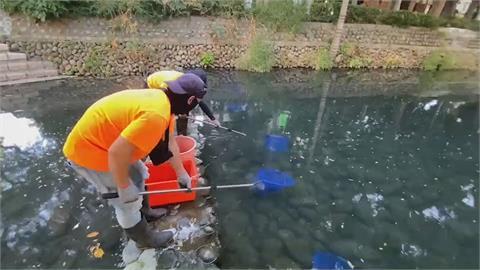 美國螯蝦大舉侵占護城河 5天捕捉逾3000隻