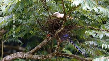 「白化藍鵲」頭城現蹤!鳥友朝聖嘖嘖稱奇