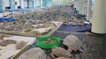 德州低溫跌破攝氏零下18度!3500隻海龜凍暈送去吹暖氣