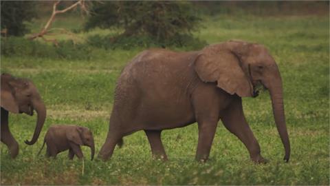 血淚象牙!盜獵猖獗 母象基因突變無牙求生存