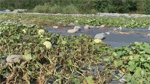 台東連日大雨淹水果肉爛光! 西瓜.哈密瓜果裂嚴重