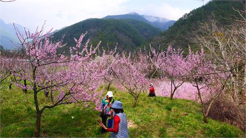 快新聞/櫻花季結束換桃花盛開! 武陵農場一大片「粉紅花海」美到像桃花源