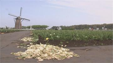 日景區防疫拒遊客 千葉剷除80萬朵鬱金香