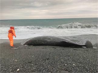 大型鯨豚擱淺花蓮海邊 身上有多處外傷