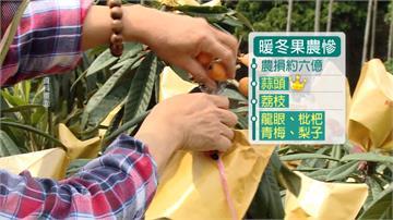 暖冬造成乾旱!水梨、蒜頭、荔枝農損慘