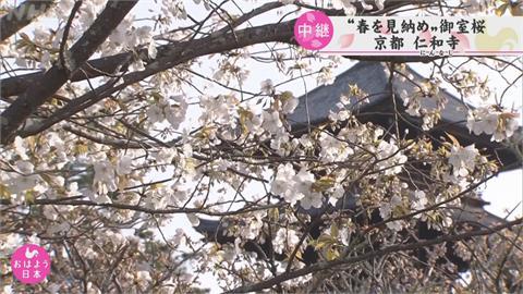 京都櫻花3/26提早滿開 創1200年來紀錄